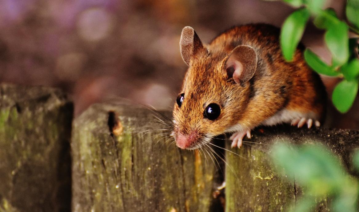 myš na plotě